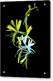 Acrylic Print featuring the photograph Japanese Honeysuckle by Bill Barber