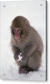 Acrylic Print featuring the photograph Japanese Macaque Macaca Fuscata Baby by Konrad Wothe