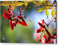 Japanese Maple 1782 Acrylic Print by Carolyn Stagger Cokley