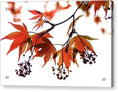 Japanese Maple 2011-2 Acrylic Print