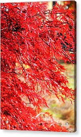 Japanese Maple 9 Acrylic Print