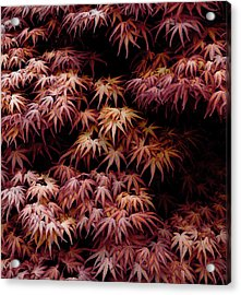 Japanese Maple, Acer Palmatum Seigen Acrylic Print by Frank Tschakert