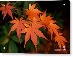 Japanese Maple Leaves Acrylic Print by Patricia Strand