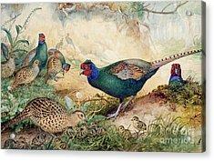 Japanese Pheasants Acrylic Print