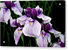 Japanese Water Iris In Purple 2714 H_2 Acrylic Print