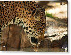 Jaquar Drinking Water Acrylic Print by Russell  Barton