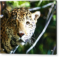 Jaquar Acrylic Print by Russell  Barton