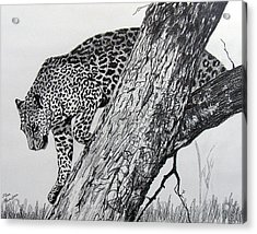 Jaquar In Tree Acrylic Print by Stan Hamilton