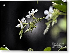 Jasmine In The Dark Acrylic Print
