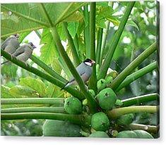 Java Sparrows Acrylic Print by Don Lindemann