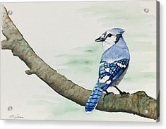 Jay In The Pine Acrylic Print