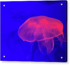 Jellyfish Acrylic Print by Martin Newman