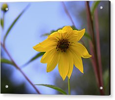 Jerusalem Artichoke And Blue Sky Acrylic Print by Larry Capra