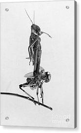 Jerusalem: Locusts, 1915 Acrylic Print by Granger