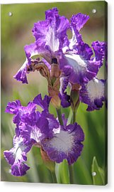 Jesse's Song 1. The Beauty Of Irises Acrylic Print by Jenny Rainbow