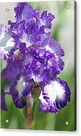 Jesse's Song. The Beauty Of Irises Acrylic Print by Jenny Rainbow