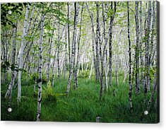 Jesup Path Birches Acrylic Print by Steven Scott