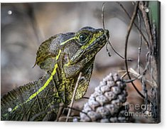 Acrylic Print featuring the photograph Jesus Lizard #2 by Tom Claud