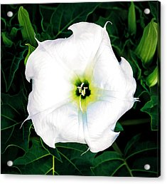 Acrylic Print featuring the photograph Jimson Weed #1 by Lou Novick