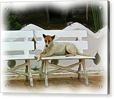 Joe Cool Temple Dog Acrylic Print