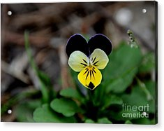 Jonny Jump Up - Relative To A Pansy Acrylic Print