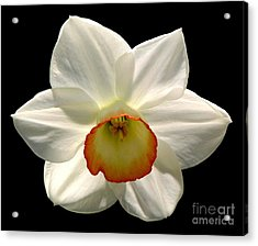 Jonquil 1 Acrylic Print by Rose Santuci-Sofranko