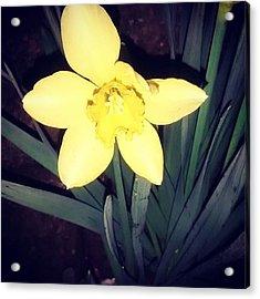 Jonquil At Night. #daffodil Acrylic Print