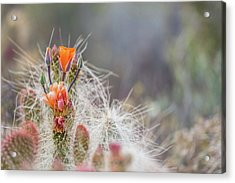 Joshua Tree Cactus And Flower Acrylic Print by Peter Tellone