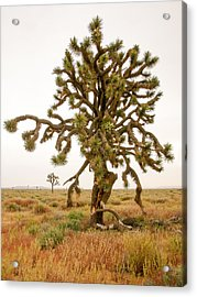 Joshua Trees In Desert Acrylic Print
