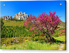 Acrylic Print featuring the photograph Judas Tree In Sainte Baume by Olivier Le Queinec