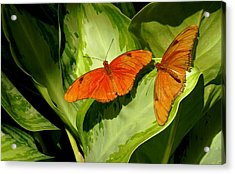 Acrylic Print featuring the photograph Julia Butterfly Pair by Rosalie Scanlon