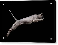 Jumped Sphynx Cat Isolated On Black Acrylic Print by Sergey Taran