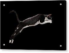 Jumping Cornish Rex Cat Isolated On Black Acrylic Print