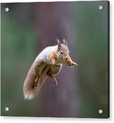Jumping Red Squirrel Acrylic Print