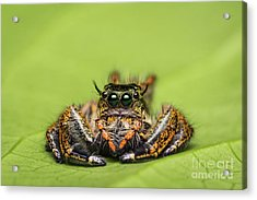 Acrylic Print featuring the photograph Jumping Spider On Green Leaf. by Tosporn Preede