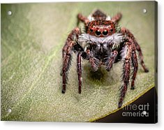 Jumping Spider Acrylic Print