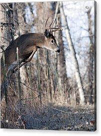 Jumping White-tail Buck Acrylic Print