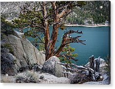 June Lake Juniper Acrylic Print by Cat Connor