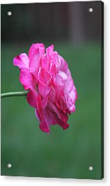 Acrylic Print featuring the photograph June Rose by Vadim Levin