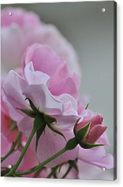 June Roses 2 Acrylic Print by Gerald Hiam