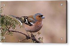 Juniper Bird Acrylic Print