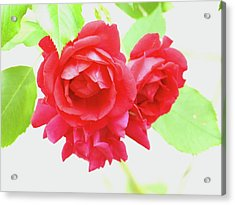 Just A Rose Acrylic Print