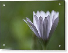 Just Because Acrylic Print by Kevin Bergen