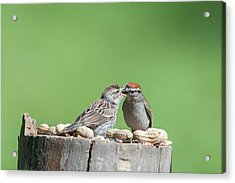 Just Because Out Of Nest Doesn't Mean Feeding Time Stops Acrylic Print by Dan Friend