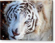 Just Call Me Gorgeous Acrylic Print by Fiona Kennard