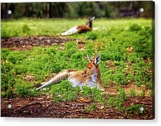 Acrylic Print featuring the photograph Just Chillin, Yanchep National Park by Dave Catley