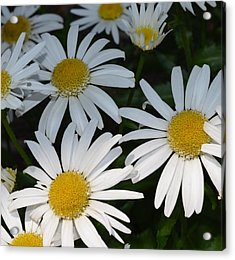 Acrylic Print featuring the photograph Just Daises by Richard Ricci