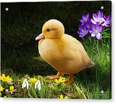 Just Ducky Acrylic Print by Bob Nolin