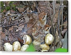 Just Hatched Ruffed Grouse Chicks Acrylic Print