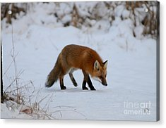 Just Hunting For Breakfast Acrylic Print